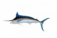 blue-marlin-1619908_1920