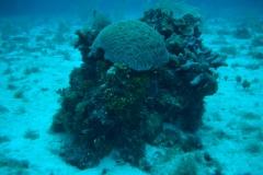 great-brain-coral-underwater